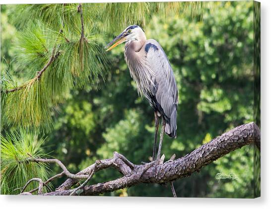 Great Blue Heron I Canvas Print