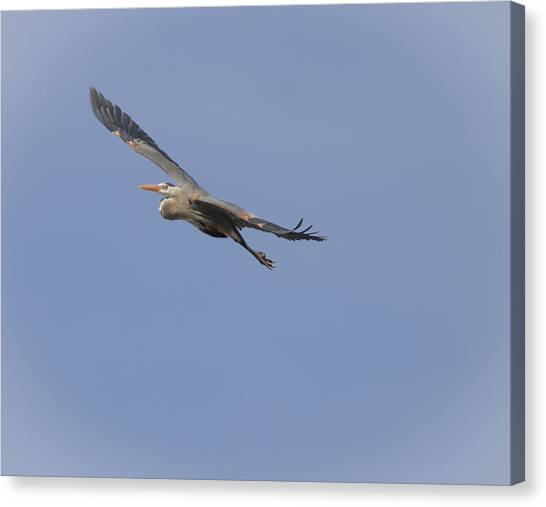 Great Blue Heron In Flight-2 Canvas Print