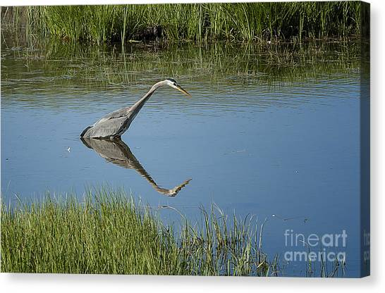 Great Blue Heron In Hayden Valley Canvas Print by Bob Dowling