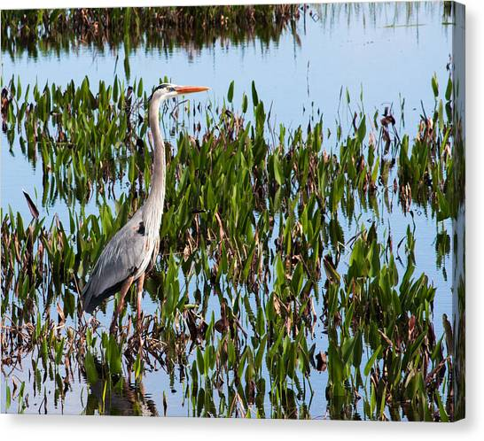 Great Blue Heron In Pickerelweed Canvas Print