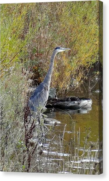 Great Blue Heron - Juvenile Canvas Print