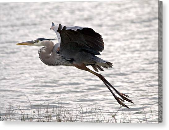 Great Blue Heron Landing Series 1 Canvas Print