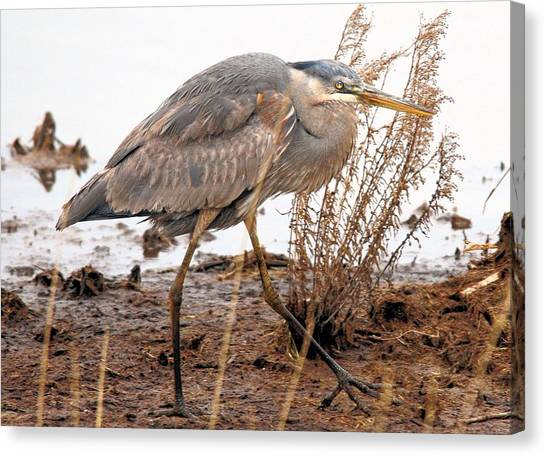 Great Blue Heron Canvas Print by Linda  Barone
