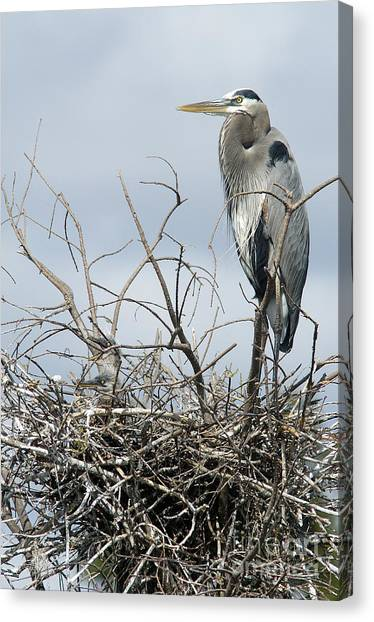 Great Blue Heron Nest With New Chicks Canvas Print