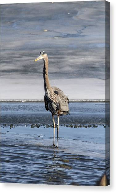 Great Blue Heron Portrait Canvas Print by Jill Bell