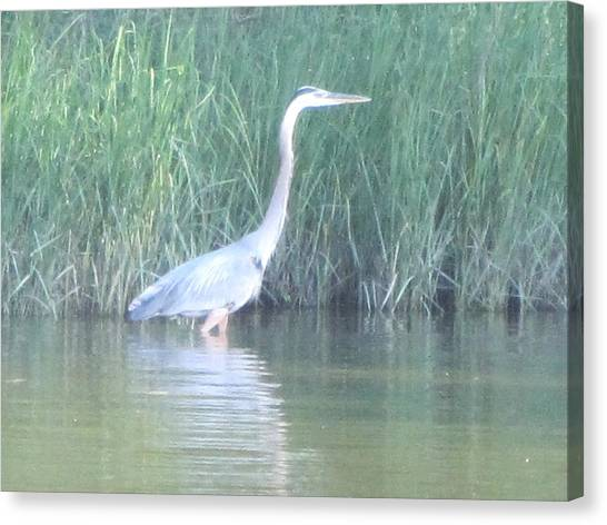 Great Blue Heron Reflecting Canvas Print by Debbie Nester