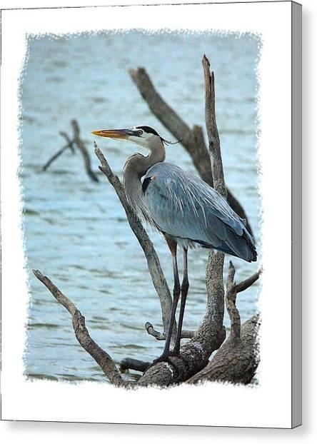 Great Blue Heron Canvas Print by Wynn Davis-Shanks