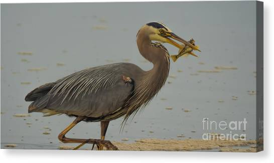 Great Blue Herron Eating Fish Canvas Print
