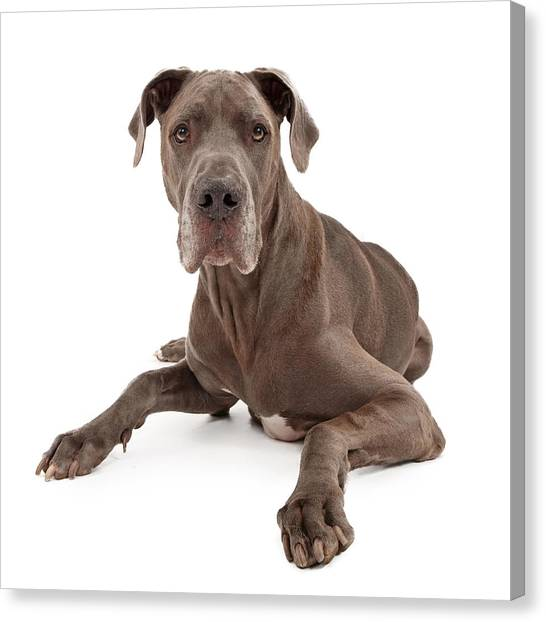 Mastiff Canvas Print - Great Dane Dog Isolated On White by Susan Schmitz