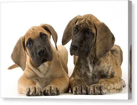 Head Tilt Canvas Print - Great Dane Puppy Dogs by Jean-Michel Labat