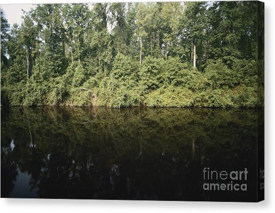 Great Dismal Canvas Print - Great Dismal Swamp by Van D. Bucher