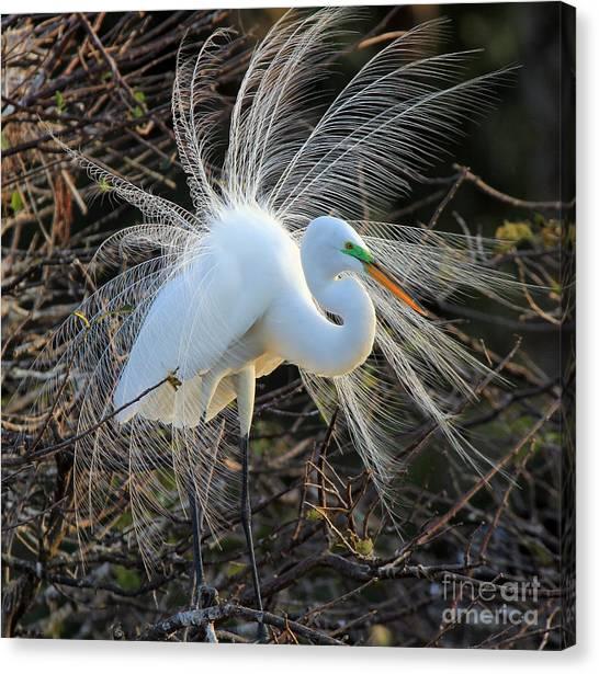 Great Egret Show Off Canvas Print