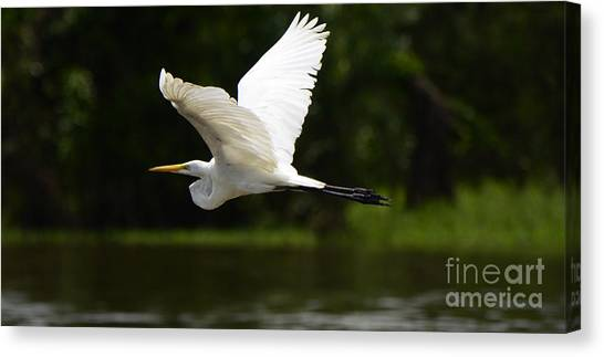 Amazon River Canvas Print - Great Egret Amazon River by Bob Christopher