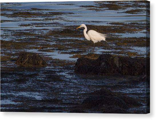 Great Egret At Avery Point Canvas Print