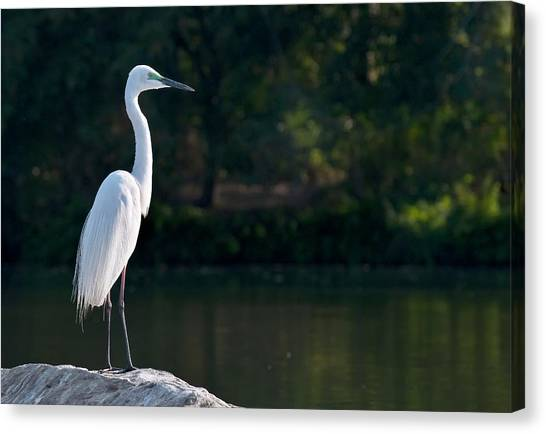 Behaviour Canvas Print - Great Egret At Water's Edge by K Jayaram