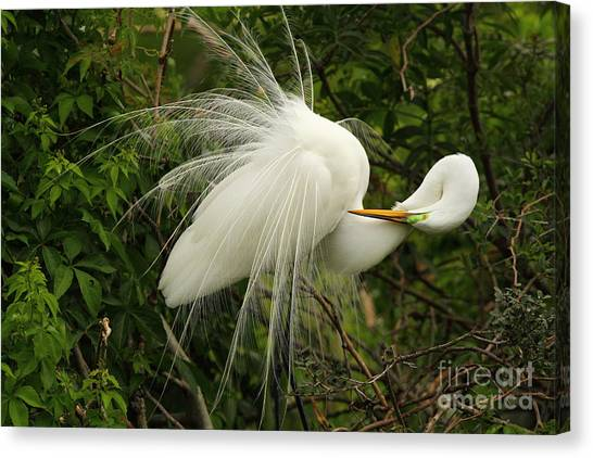 Great Egret Displaying Canvas Print