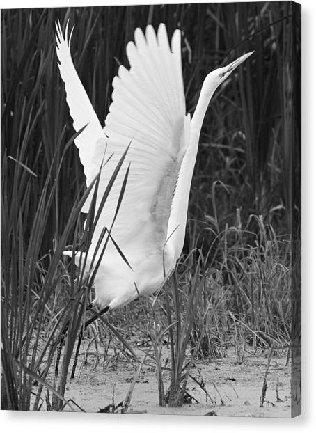 Great Egret In Black And White Canvas Print by Ricky L Jones