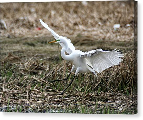 Canvas Print featuring the photograph Great Egret Landing by William Selander
