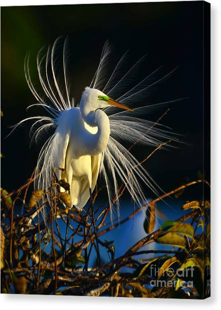 Great Egret With Breeding Plumage 1 Canvas Print