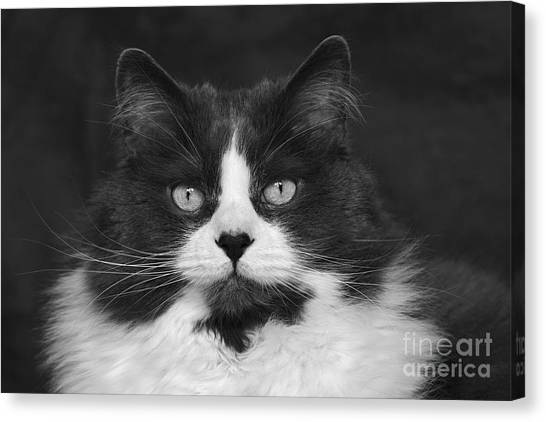 Great Gray Cat Canvas Print
