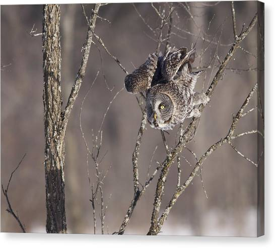 Great Gray Owl Canvas Print by Brian Magnier