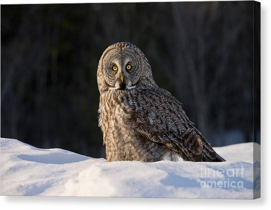 Great Gray Owl In Snow Canvas Print