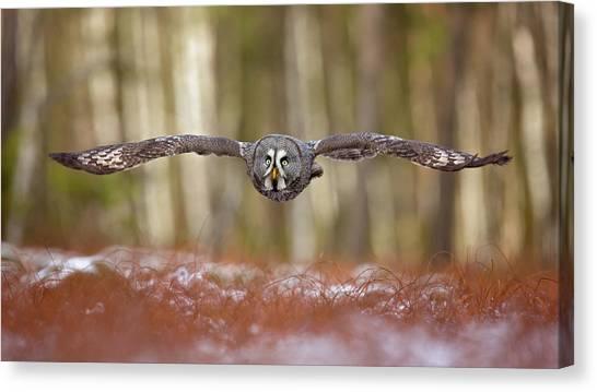 Grey Canvas Print - Great Grey Owl by Milan Zygmunt