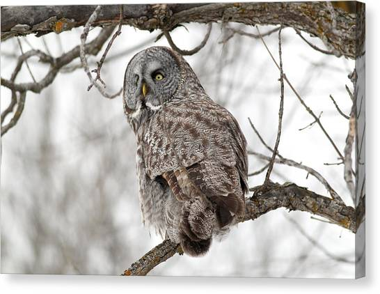Great Grey Owl Canvas Print by William Cooke