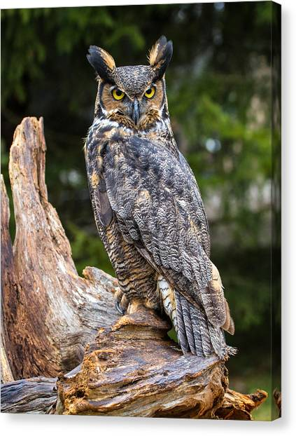 Great Horned Owl Canvas Print by Craig Brown