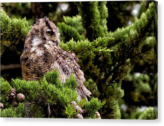 Great Cypress Canvas Print - Great Horned Owl In A Cypress Tree by Kathleen Bishop