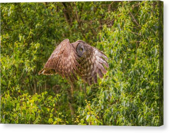 Great Horned Owl Canvas Print by Laura Bentley
