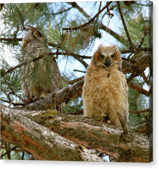 Great Horned Owls Canvas Print