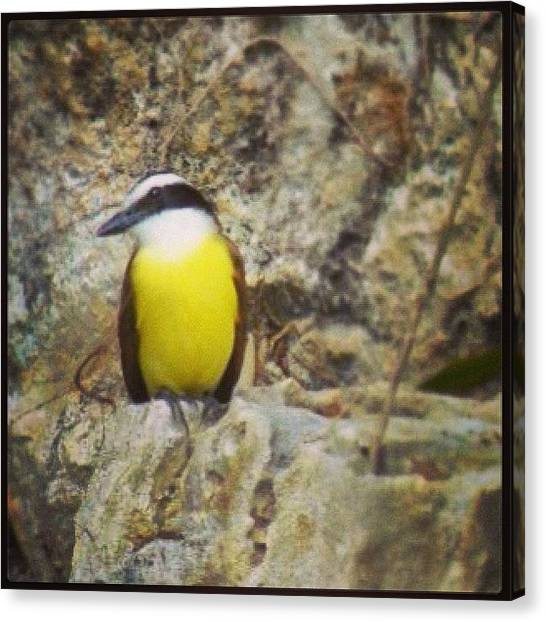 Flycatchers Canvas Print - Great Kiskadee Quintana Roo, Mexico by Susan Scherr