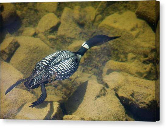 Loon Canvas Print - Great Northern Diver by Ashley Cooper