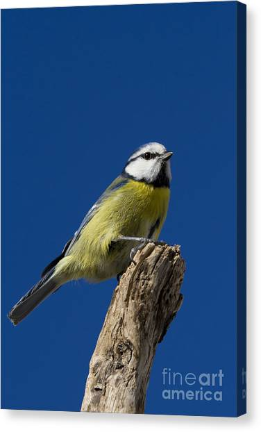 Great Tit On Blue Canvas Print