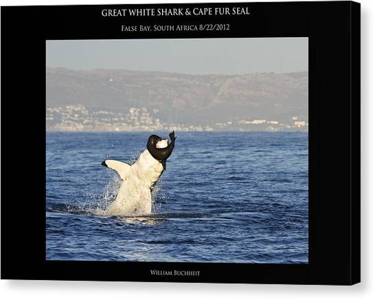 Great White And Seal Canvas Print by William Buchheit