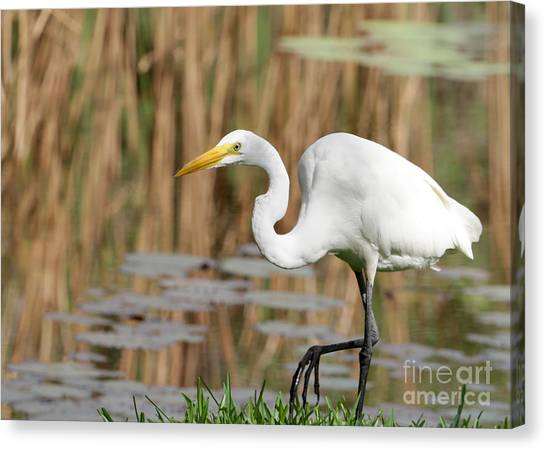 Great White Egret By The River Canvas Print