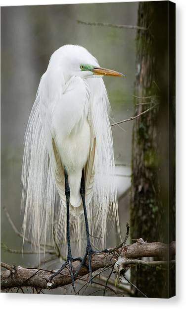 Great Cypress Canvas Print - Great White Egret In Mating Plumage by Bonnie Barry