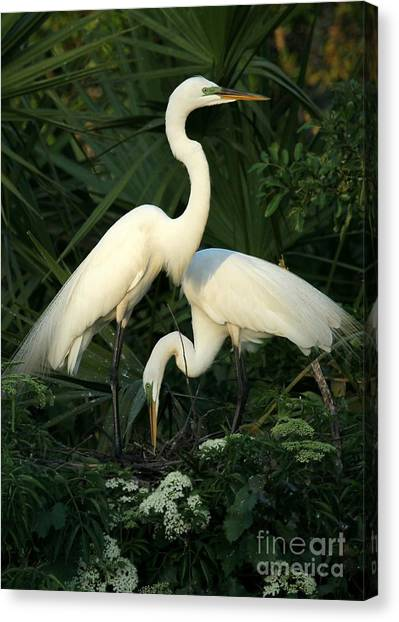 Great White Egret Mates Canvas Print