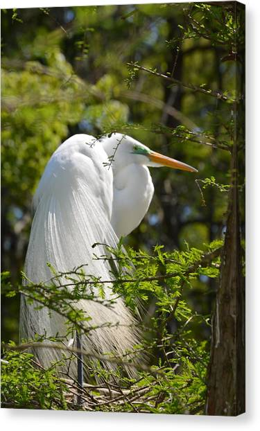 Great White Egret On Nest Canvas Print