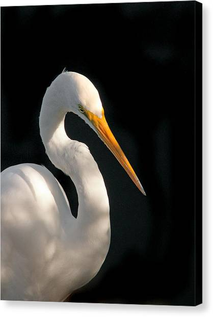 Great White Egret Portrait. Merritt Island N.w.r. Canvas Print