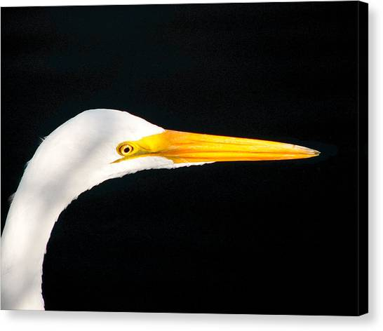 Great White Headshot. Merritt Island N.w.r. Canvas Print