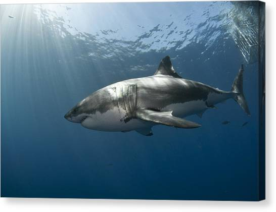 Great White Rays Canvas Print by David Valencia