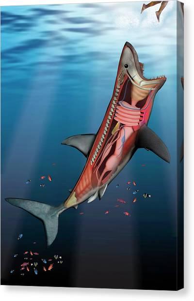 Great White Shark Organ Diagram Trusted Wiring Diagrams