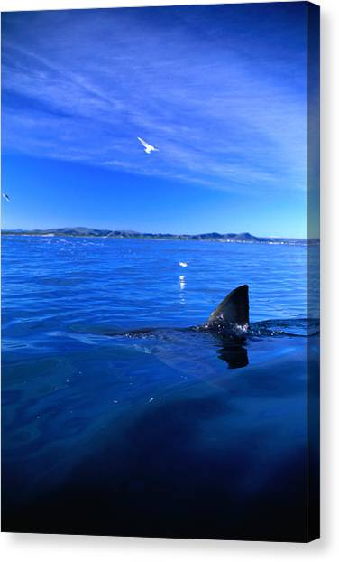 Southern Rock Canvas Print - Great White Shark Carcharias by Tim Rock/lonely Planet-getty Images