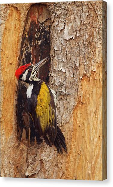 Scouting Canvas Print - Greater Flameback Woodpecker Scouting by Jagdeep Rajput