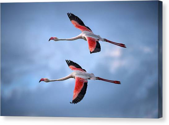 Greater Flamingos Canvas Print by Xavier Ortega