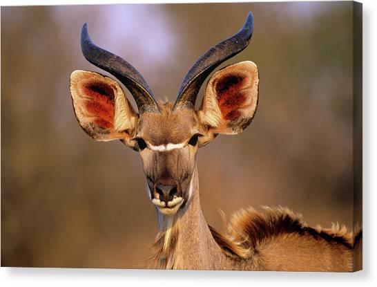 Greater Kudu Canvas Print by Tony Camacho/science Photo Library