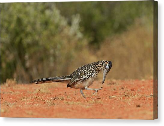 Roadrunner Canvas Print - Greater Roadrunner (geococcyx by Rolf Nussbaumer