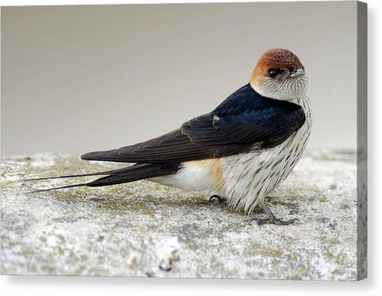 Swallows Canvas Print - Greater-striped Swallow by Peter Chadwick/science Photo Library
